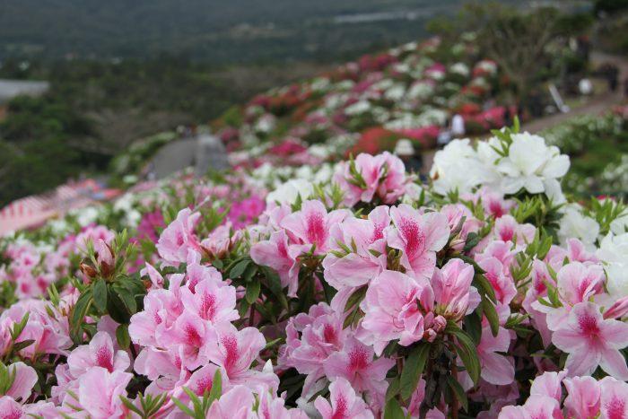 Higashi Village S Azalea Flower Festival Okinawanderer Okinawa